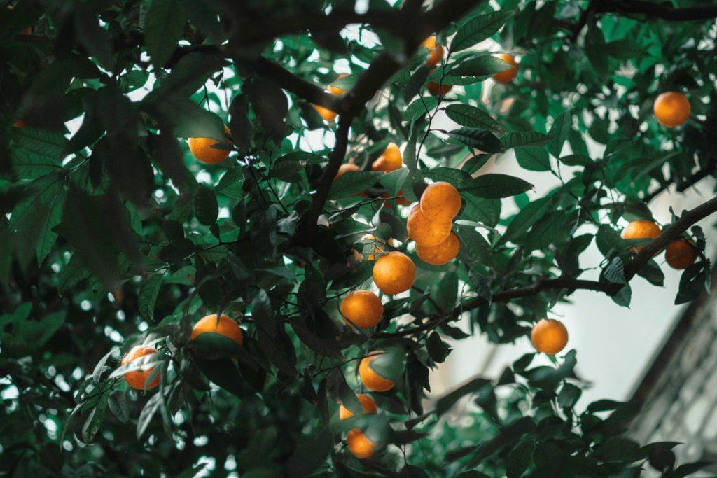 Španělské město Sevilla vytváří elektřinu ze spadlých pomerančů
